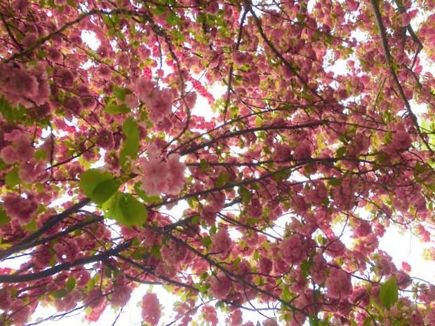 Cherry Blossoms Sakura Matsuri
